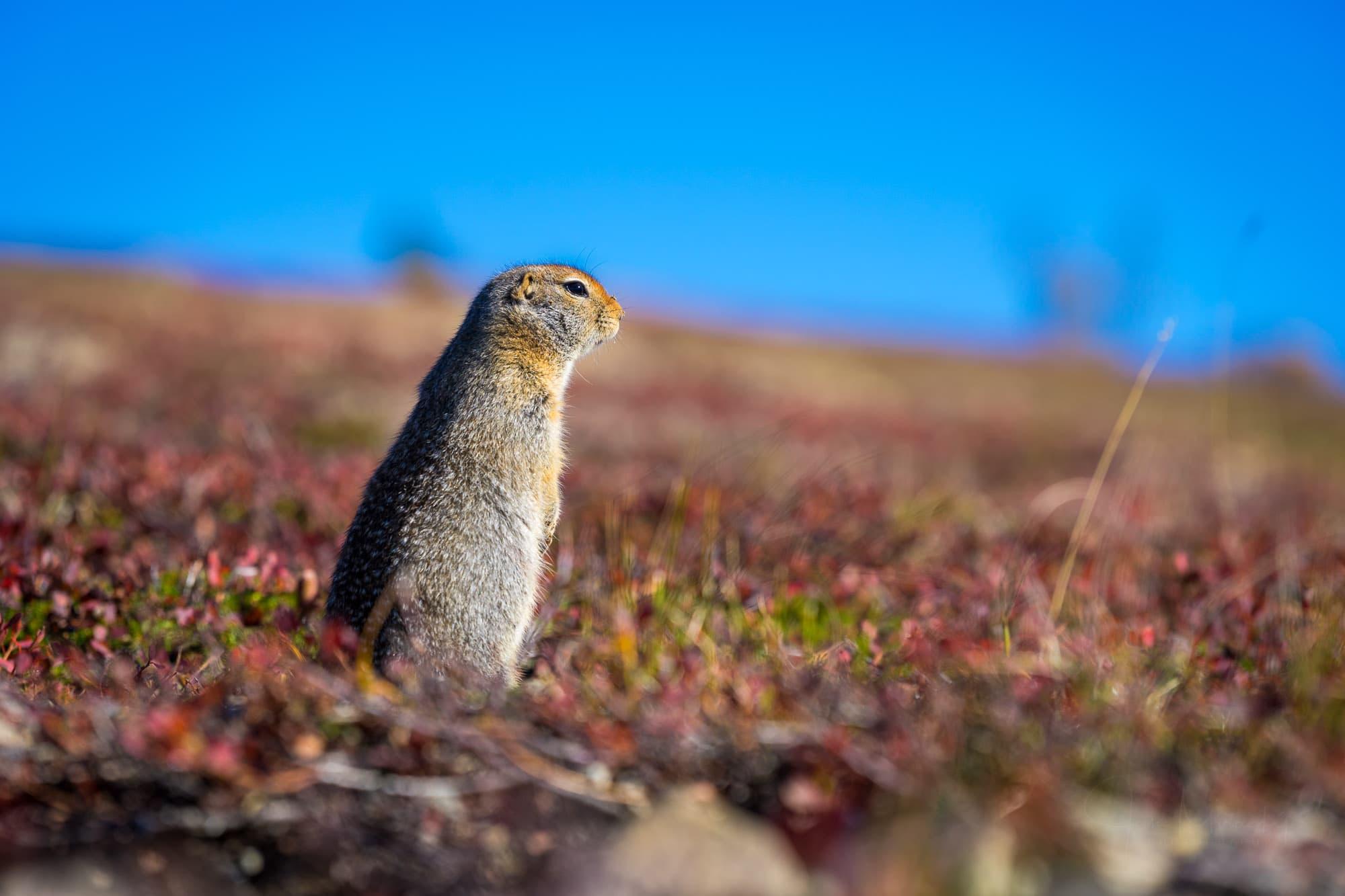 Alaskan marmot