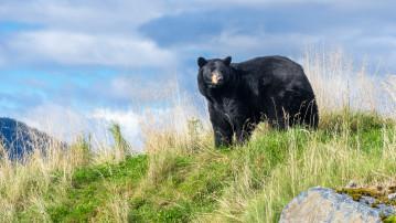 Black bear in Alaska