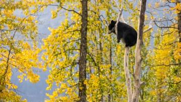 Cute bear cub chilling on a tree in autumn, Alaska