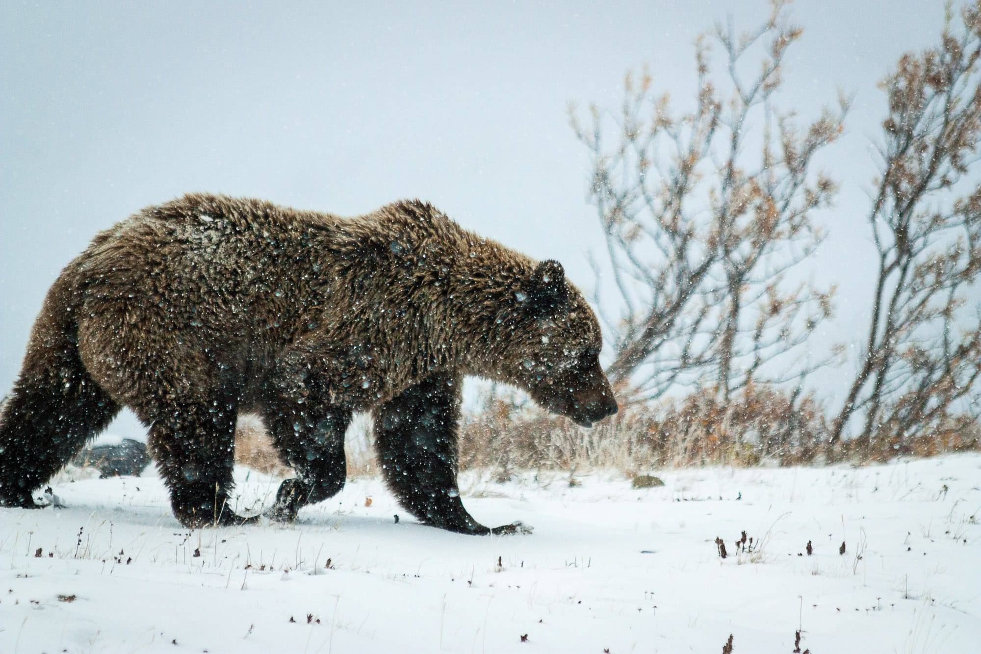 Grizzly bear in Denali National Park and Preserve
