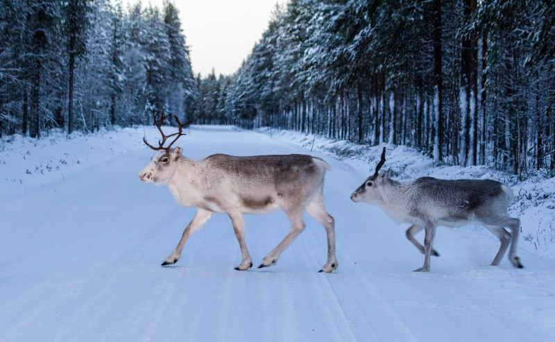 Reindeers crossing road in Lapland