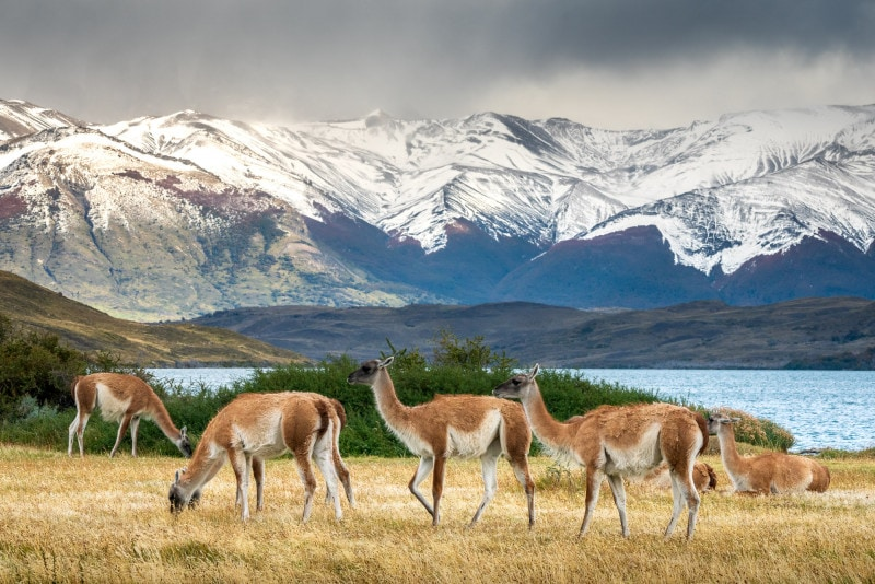 Guanaco herd, Torres del Paine National Park